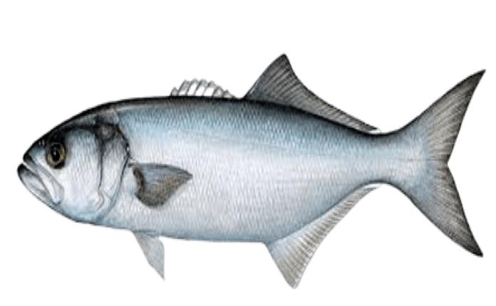 lüfer balığı kaç kalori